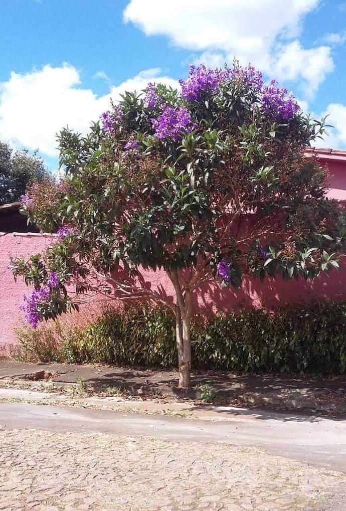 quaresmeira plantada na calçada de uma casa