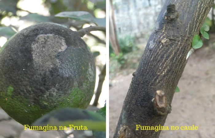 fungo na fruta e no caule