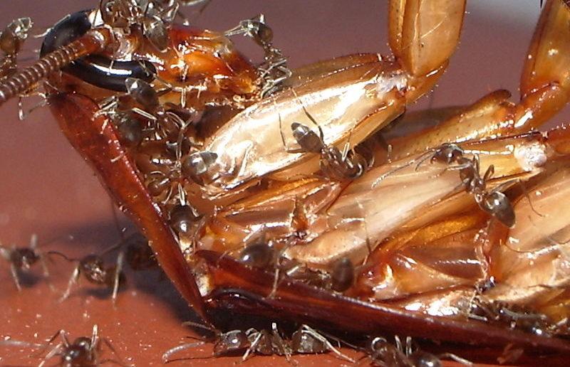 formigas comendo barata