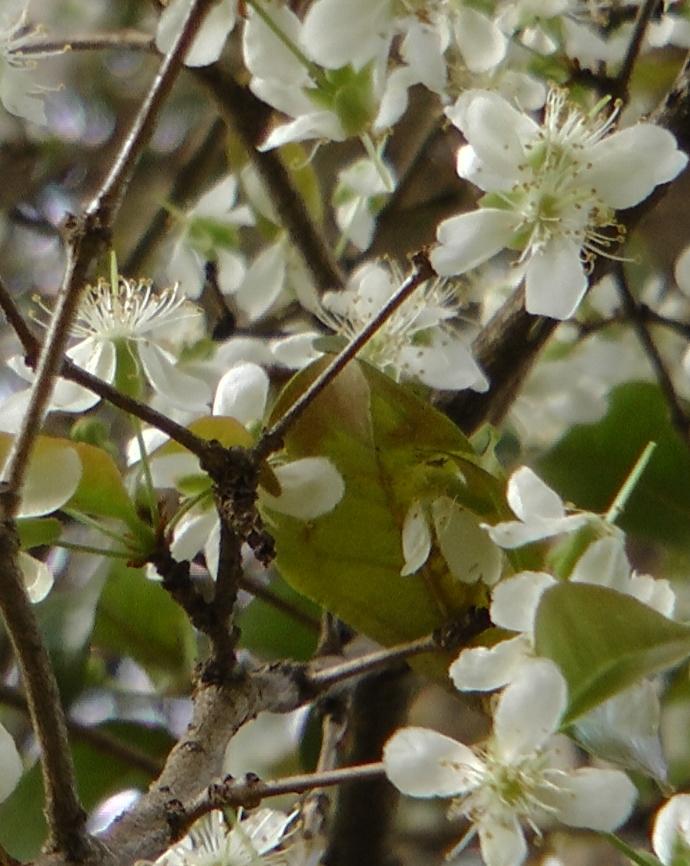 flores da pitanga