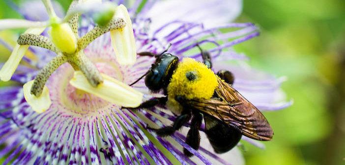 abelha polinizando uma flor de maracujá