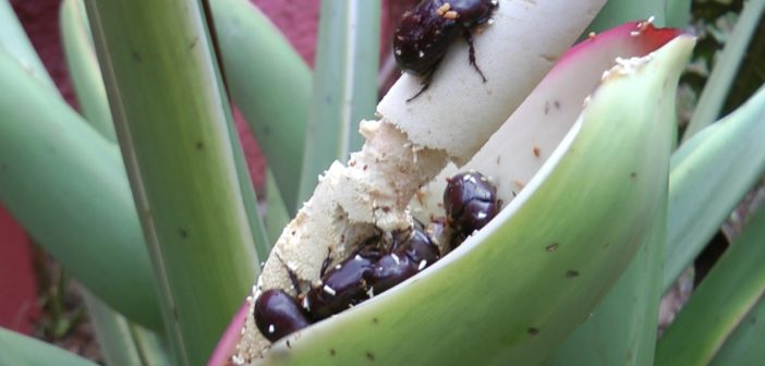 besouros comendo planta no jardim
