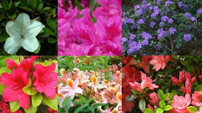 azaleias de diferentes cores