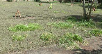 jardim cheio de braquiárias