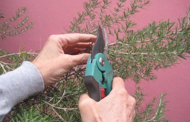 cortando um ramo de alecrim com um podão