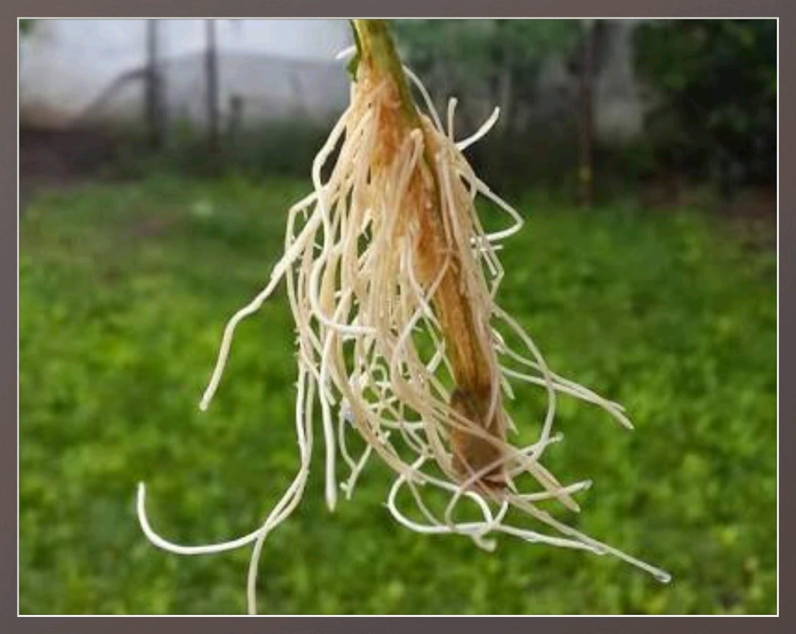 Horm nios enraizador de plantas assim que faz for Incompatibilidad en plantas
