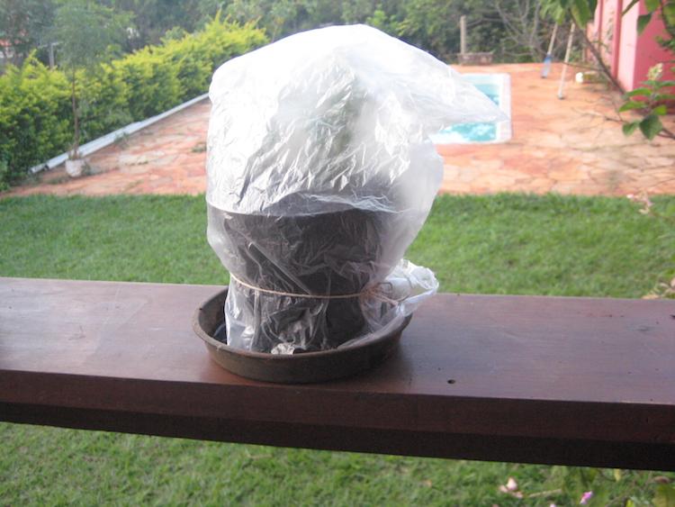 estaquias de alecrim protegidas com saco plástico sobre o vaso para reter a umidade
