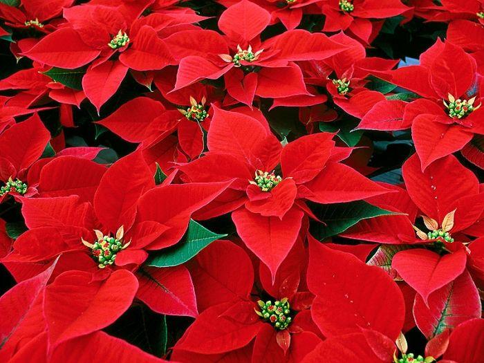 várias flor de natal