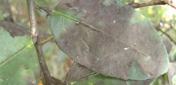 folha repleta de fungos fumagina