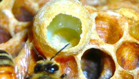 colmeia de abelha com geleia real