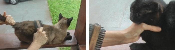 escovando os gatos