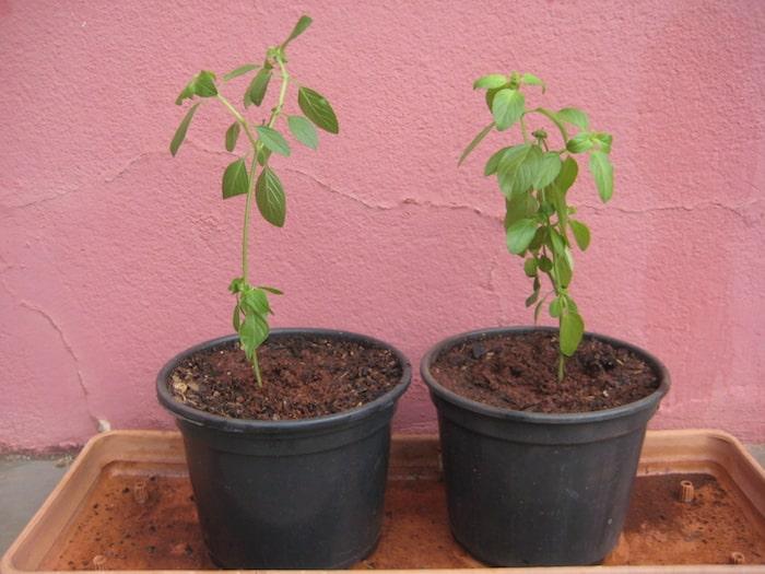 mudas de manjericão plantada em vasos