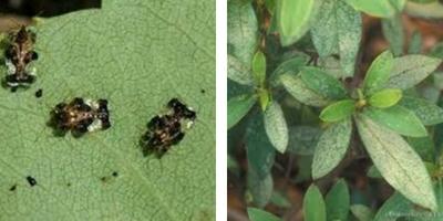 percevejo sugando folha da azaleia