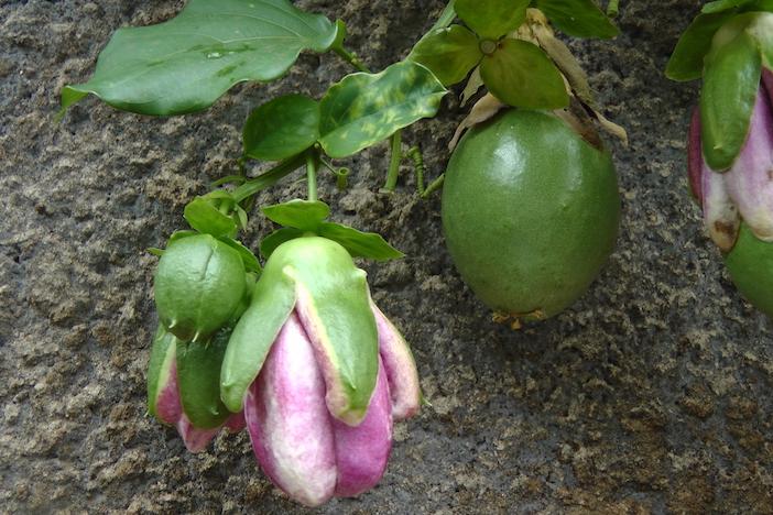 diferentes tamanhos da fruta de maracujá
