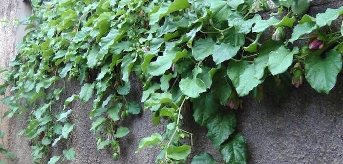 ramas de maracujá sobre o muro