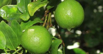 Fazer muda de limão