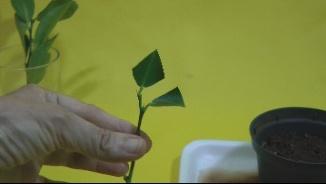 cortar 2/3 das folhas superior