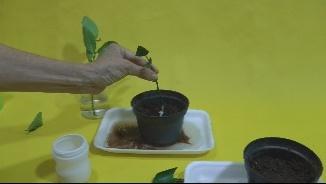 plantar no vaso