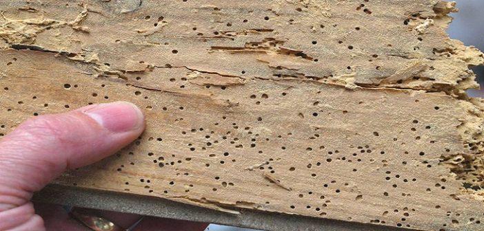 Madeira infestada de cupim