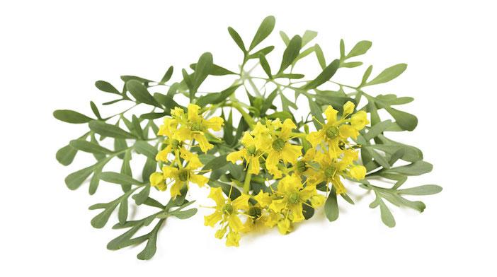 arruda uma planta que absorve energias negativas