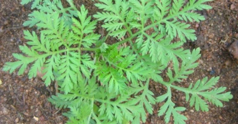 Artemisa planta de boas energias