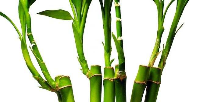 bambu da sorte para energias positivas