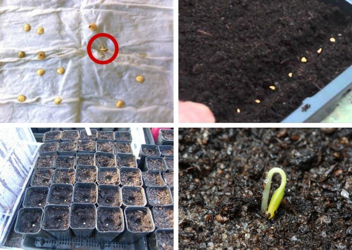 diferentes maneiras de germinar a semente de pimenta