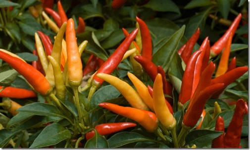 diferentes tipos de pimenta no jardim