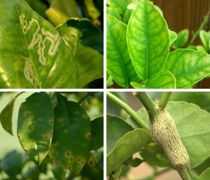 4 diferentes tipos de doenças comuns do limoeiro