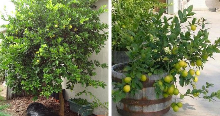 pé de limão plantado no jardim e outro plantado no vaso grande