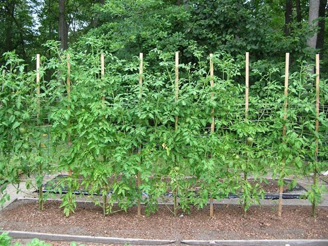 Plantação de tomates no chão
