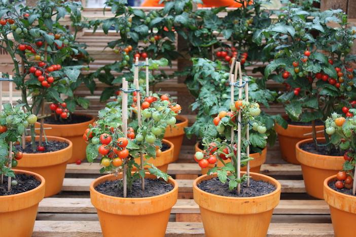 Super 8 Maneiras Diferentes de Plantar Tomates - Assim que Faz KO41