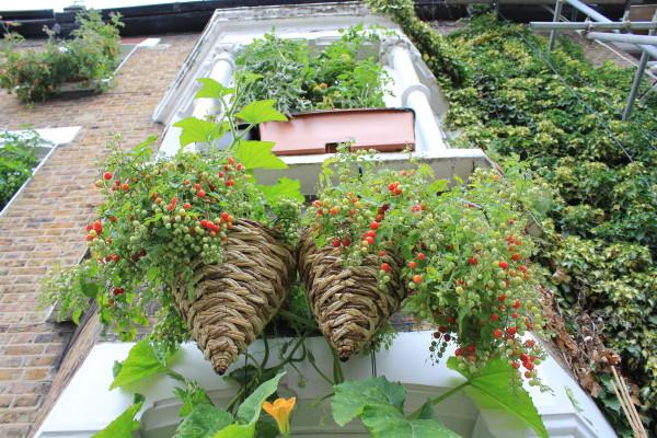 2 cestas penduradas na janela com tomates