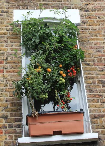 tomates no vão da janela