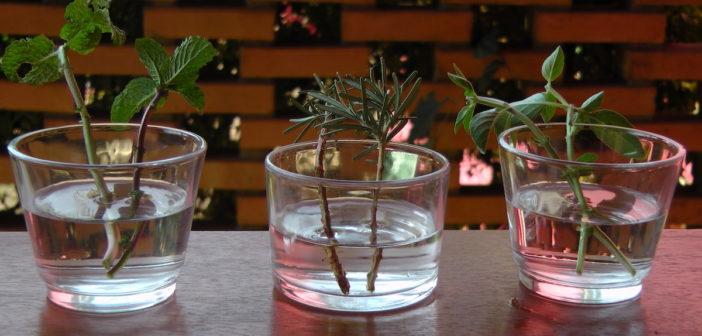 9 Ervas que  pode crescer em água e ter sempre na sua cozinha