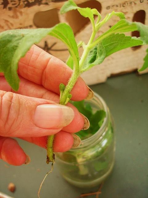 planta de stévia enraizar