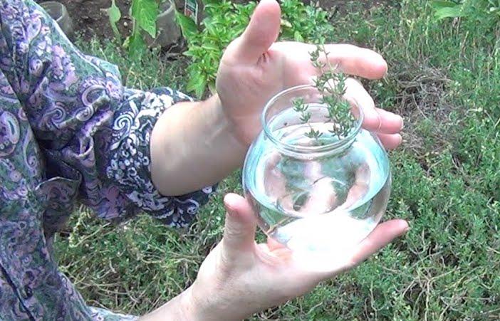 planta de tomilho em água