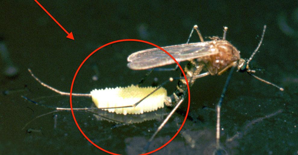 mosquito botando ovos numa poça de água