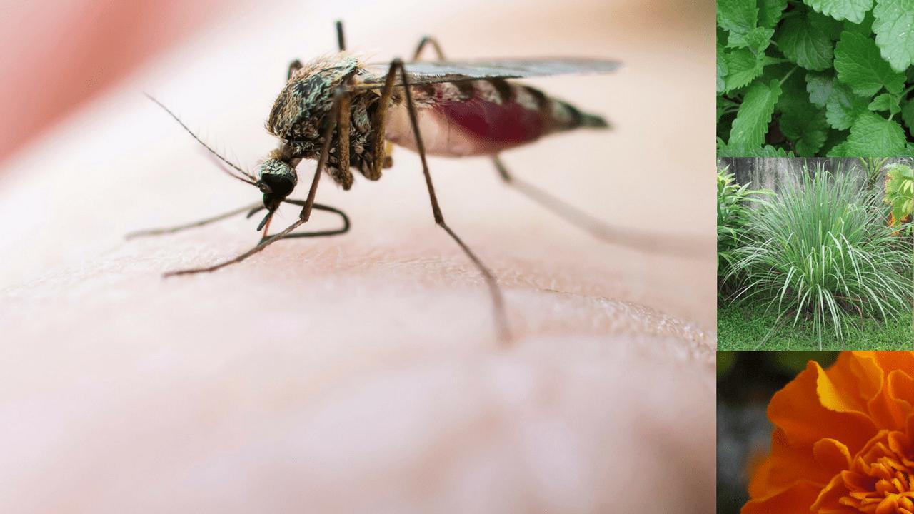 9 plantas que repelem mosquitos p gina 2 de 3 assim que faz - Plantas ahuyenta mosquitos ...