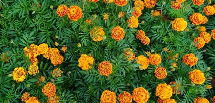 varias flores de cravo alaranjada