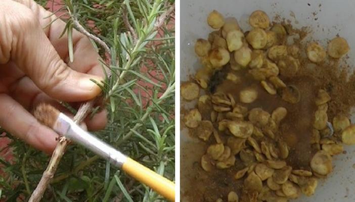 pincelar canela nos galhos quebrados e empapar as sementes combate os fungos