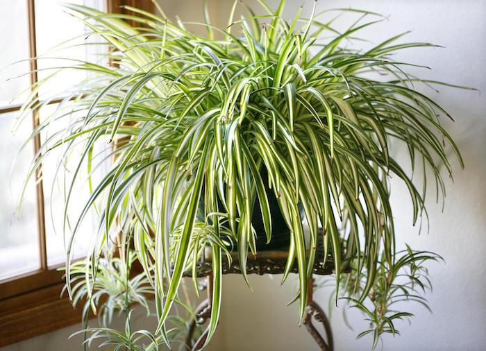 planta de clorofito gigante com varias mudinhas