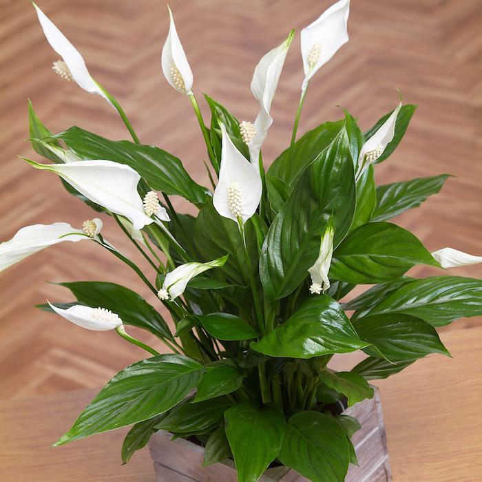 planta lirio da paz