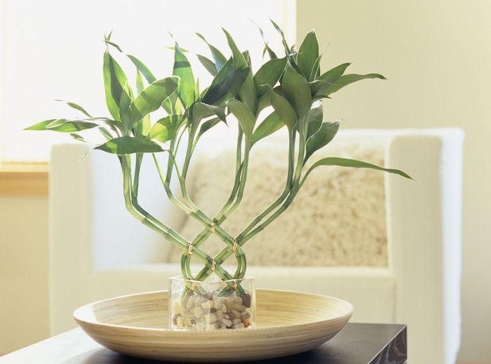 bambú da sorte com curvas decorativas