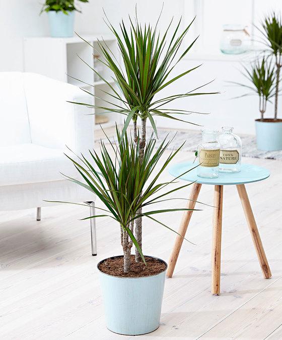 vaso com uma planta dracena de interior