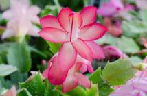 flor do cactos da páscoa