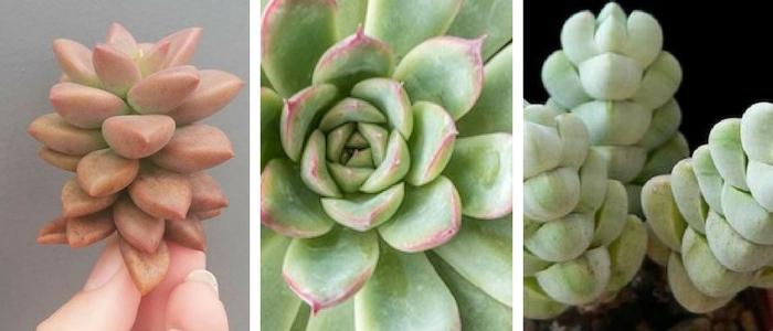 suculenta em forma de lagrima, rosa coluna