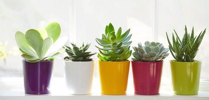 Como cultivar Suculentas Saudáveis