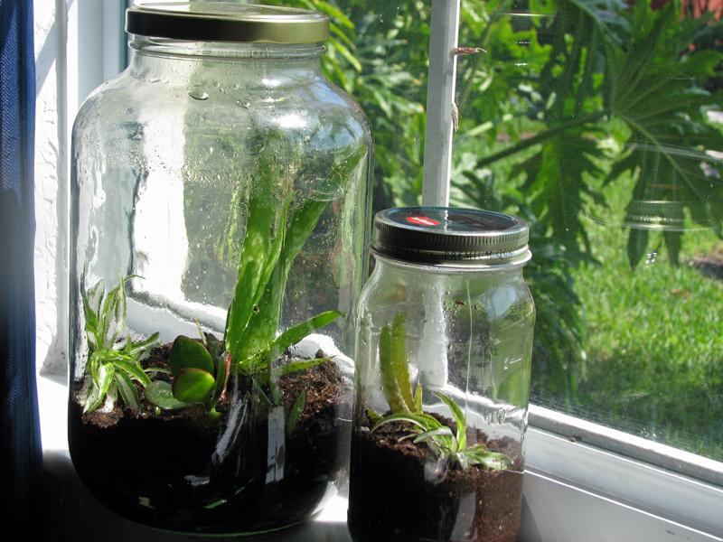 um pote de vidro grande e outro menos com plantas dentro