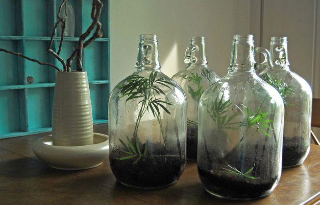 3 garrafões com plantas no interior